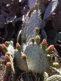 Цветки кактуса Стоковое Фото