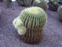 Цветки кактуса Стоковые Фото