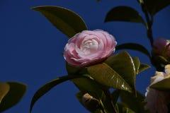 Цветки камелии стоковые фотографии rf