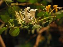 Цветки каприфолия Стоковое Фото