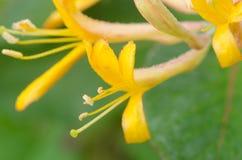 Цветки каприфолия Стоковые Фотографии RF