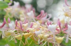 Цветки каприфолия Стоковое фото RF