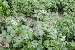 Цветки картошек на кусте Цветя картошки цветет белизна Стоковые Изображения RF