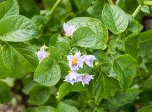 Цветки картошек на кусте Цветя картошки цветет белизна Стоковое фото RF