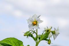 Цветки картошек на кусте Цветя картошки цветет белизна Стоковое Изображение RF