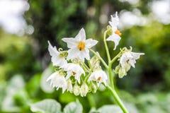 Цветки картошек на кусте Цветя картошки цветет белизна Стоковая Фотография RF