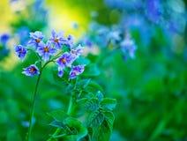 Цветки картошки Стоковое фото RF