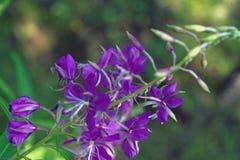 цветки кипрея Верб-травы розовые стоковые фотографии rf