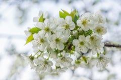 Цветки кислой вишни Стоковая Фотография