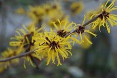 Цветки китайской лещины ведьмы Стоковые Изображения
