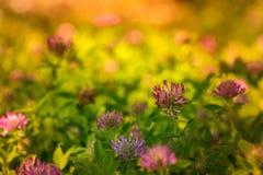 Цветки клевера в поля в цвете стоковое изображение