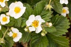Цветки клубники конец вверх против детенышей весны цветка принципиальной схемы предпосылки белых желтых Стоковое Изображение RF