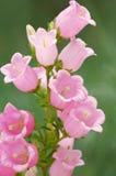цветки колокола стоковые изображения rf