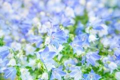Цветки колокольчика Стоковые Фотографии RF