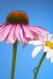 Цветки конуса и маргаритки Стоковое фото RF