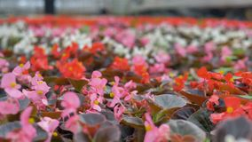 Цветки конца-вверх красивые в огромном парнике 4K видеоматериал