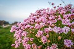 Цветки Корнуолла вызвали хозяйственность моря Розов стоковое изображение rf