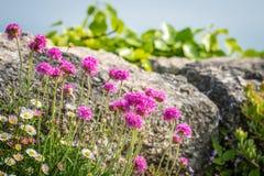 Цветки Корнуолла вызвали хозяйственность моря Розов стоковое изображение
