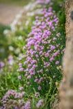 Цветки Корнуолла вызвали хозяйственность моря Розов стоковое фото