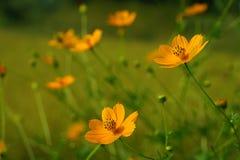 Цветки космоса в саде Стоковое Фото