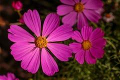 Цветки космоса в саде Стоковые Изображения