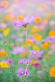 Цветки космоса в саде осени Стоковое Изображение