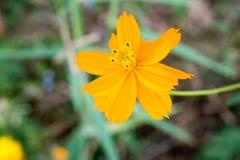 Цветки космоса красивые желтые Цветене эффектной демонстрации цветеня красит co Стоковые Фото
