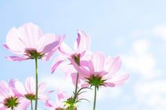 Цветки космоса розовые Стоковая Фотография
