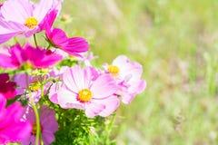 Цветки космоса розовые Стоковые Изображения