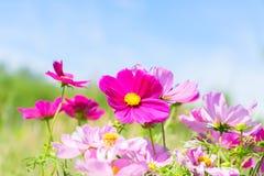 Цветки космоса розовые Стоковые Фотографии RF