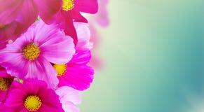 Цветки космоса розовые Стоковые Фото