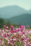 цветки космоса Стоковое Изображение RF