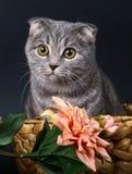 цветки кота корзины складывают scottish Стоковое Фото