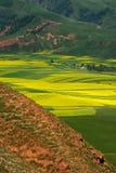Цветки Коул Стоковые Изображения RF