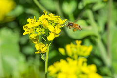 Цветки Коул Стоковые Фото