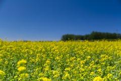 Цветки Коул Стоковое Фото