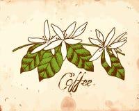 Цветки кофе иллюстрация штока