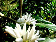 Цветки кофе Стоковые Фото