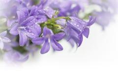 Цветки колокола колокольчика Стоковая Фотография