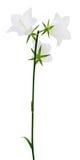Цветки колокольчика изолированные на белой предпосылке Стоковые Изображения RF
