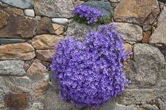 Цветки колокольчика Стоковое Изображение