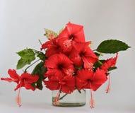 Цветки красивого гибискуса конца-вверх красные в backgro вазы и древесины Стоковое фото RF
