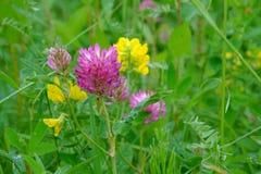Цветки красного клевера Стоковое Изображение