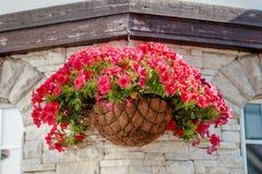 Цветки красной или розовой петуньи на стене Стоковые Фотографии RF