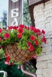 Цветки красной или розовой петуньи на стене Стоковые Фото