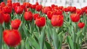 Цветки красной лужайки тюльпанов зацветая акции видеоматериалы