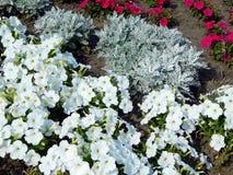 Цветки красные и белые pansies на лужайке зацветая в лете Стоковая Фотография