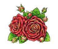Цветки красных роз на белой предпосылке Стоковые Фотографии RF