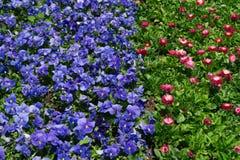 Цветки красных цветов и син Стоковые Фото
