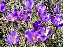 Цветки крокуса весны в прикарпатских горах стоковая фотография rf